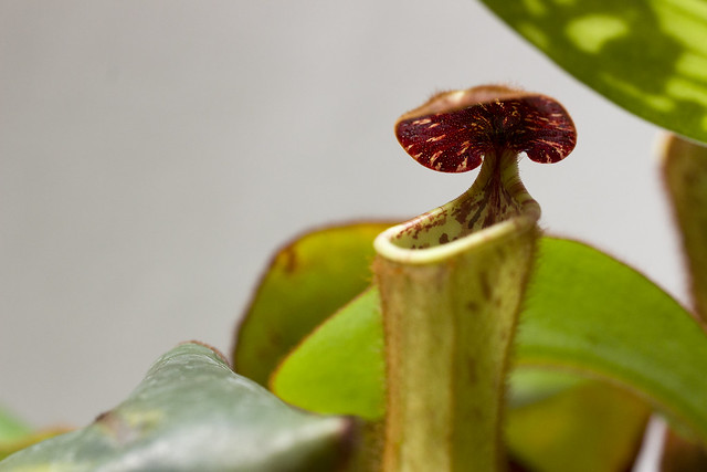 Nepenthes clipeata Clone U