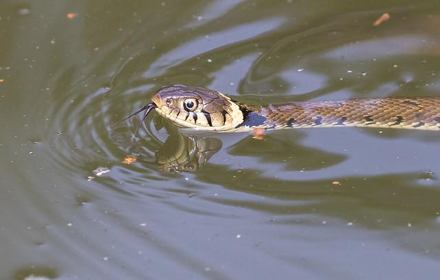 Grass Snake 054 (954)