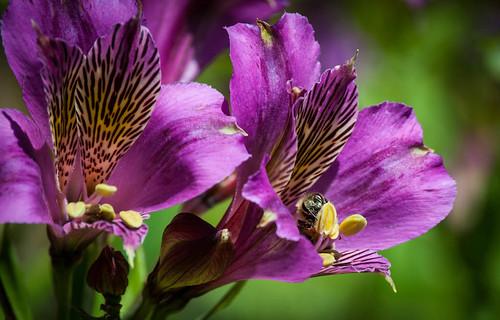 Getty Garden Purple