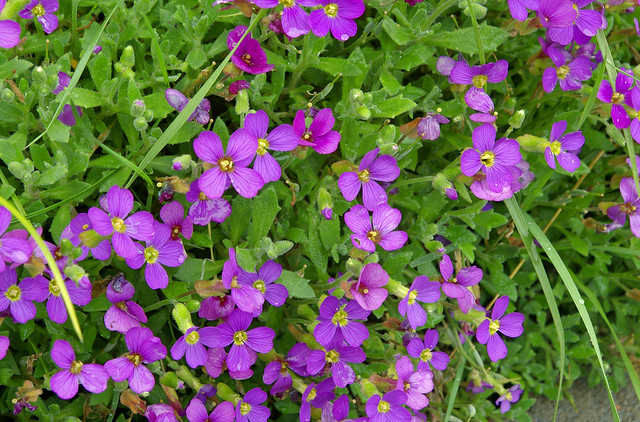 Fleurs du jardin th s e la romaine loir et cher for Jardin romain