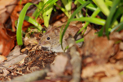 Field Vole | by JackDeanPhotography