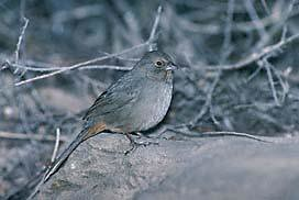 Inyo California towhee | by USFWS Pacific Southwest Region