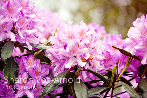 Rhododendron | by ♥ Angel of light ♥