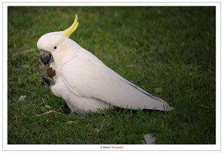 The White Cockatoo | by Damon | Photography