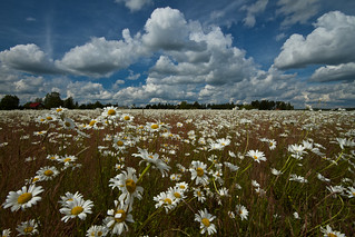 Daisy fields forever... | by K3ntFIN