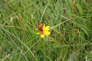 Small Pearl Bordered Fritillery | by John Grierson