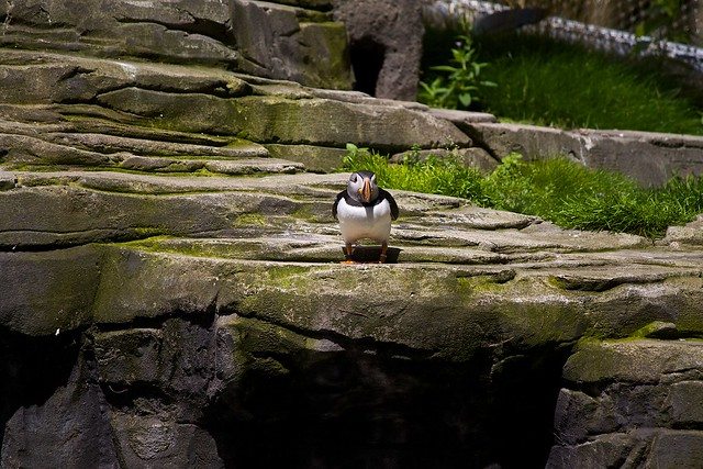 Atlantic Puffin / Papageitaucher