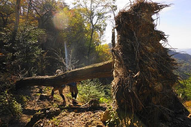 古賀志山の倒木