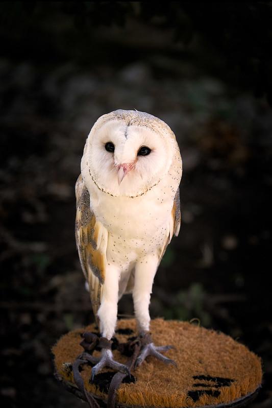 _Owl-4420