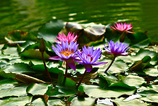 Water Lilies | by Liping Photo
