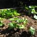 zucchini & mustards