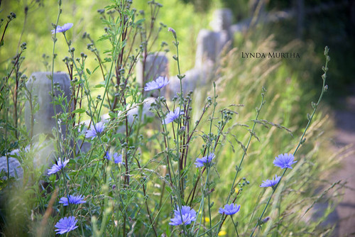 Happy Chicory Friday. | by Lynda Murtha PhotoArt ~