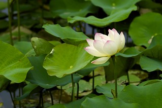 Nelumbo nucifera | by Jim Mayes