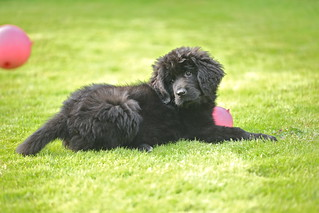 Newfoundland puppy - Polly | by C A Jacobsen