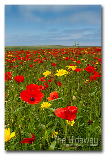 Poppy field | by Simon Bone Photography