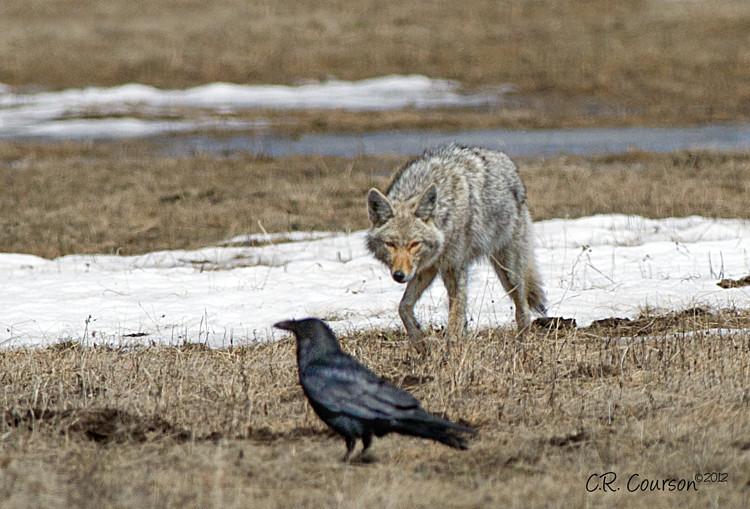 Stalking Prey A Coyote Stalks Prey In Hayden Valley In
