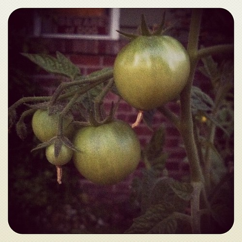 Yes my pretties. Grow... Ripen. Yeees. #tomato | by tifotter