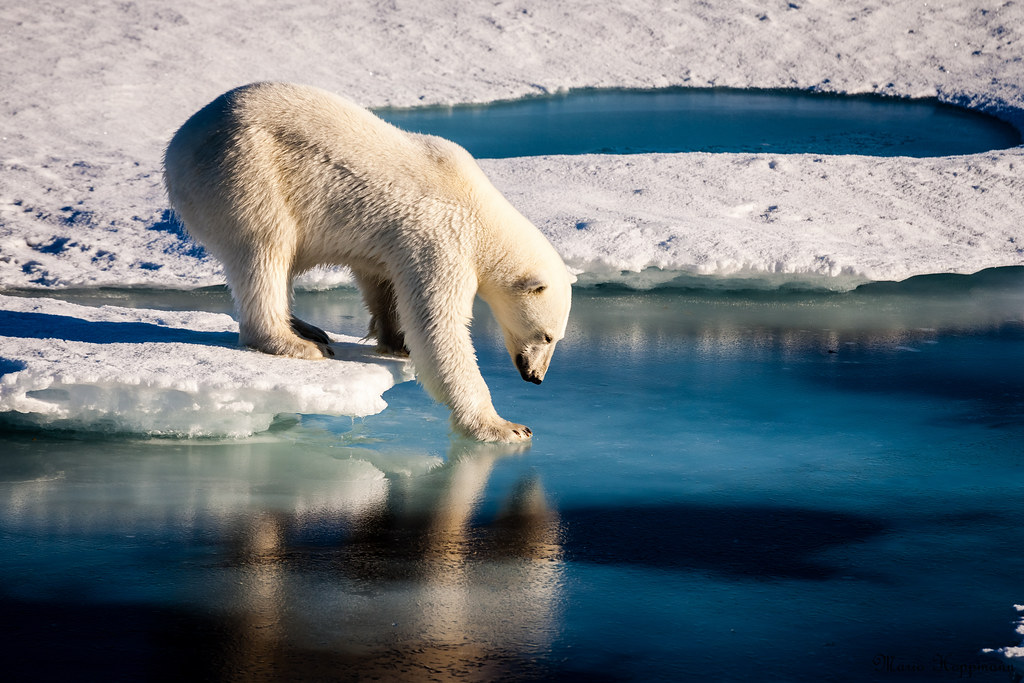 Polar Bears Across the Arctic Face Shorter Sea Ice Season