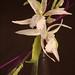 Degarmoara orchid corsage (sugar/gumpaste) on black