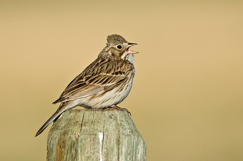 1205_0351 Vesper Sparrow | by wild prairie man
