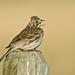 1205_0351 Vesper Sparrow