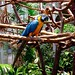 Blue Macaw Long Tail
