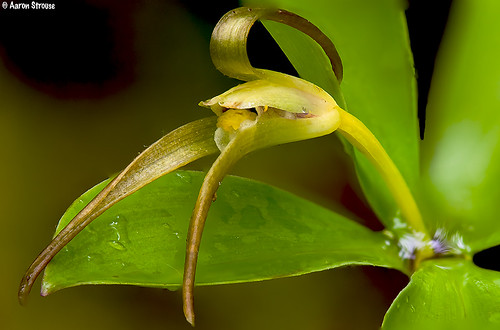 large whorled pogonia, **isotria verticillata** #2 | by ats8110