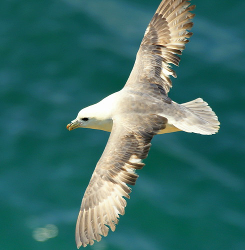 The Fulmar, wheeling and turning in the sunshine... | by SteveJM2009