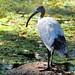 Australian White Ibis,