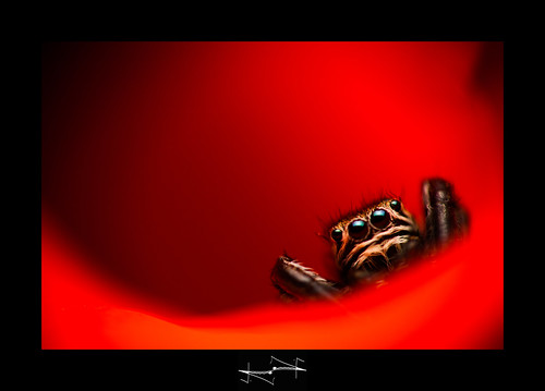 araignée macro en rouge spider jumper in red damail D.F.N. | by '^_^ Damail Nobre ^_^'