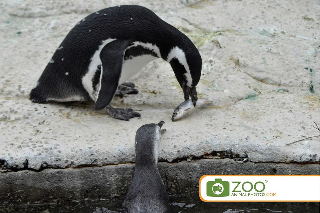 Emperor Penguin Eating Fish - More information
