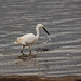 Little Egret - Fishing At Freiston Shore