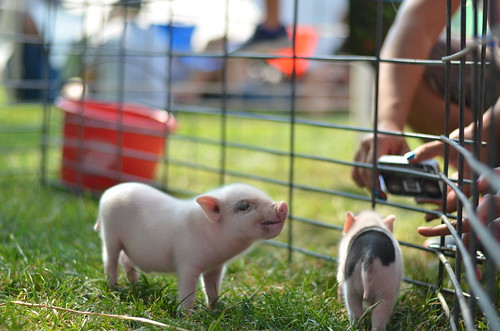 Cute Little Tiny Baby Pig | by Michael Kappel