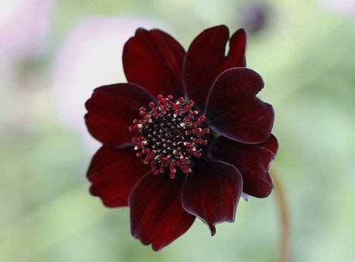 CHOCOLATE COSMOS | by cmd77
