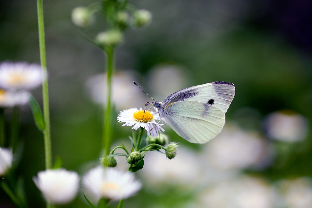 A Beautiful White Butterfly And Pretty White Flower Flickr
