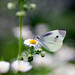 A Beautiful White Butterfly and Pretty White Flower