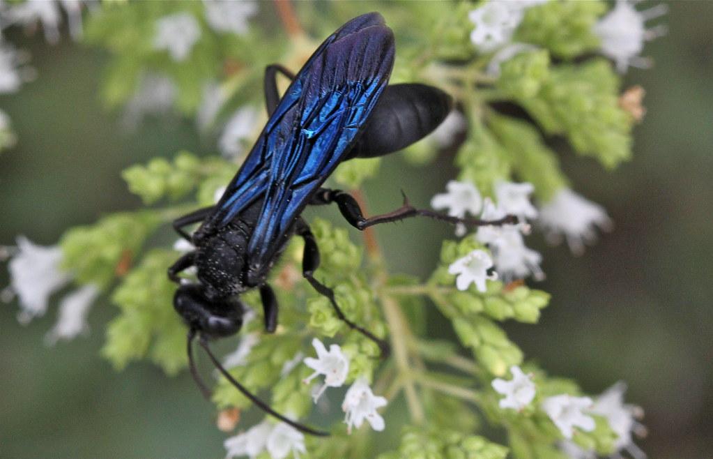 Types of black wasps - photo#54