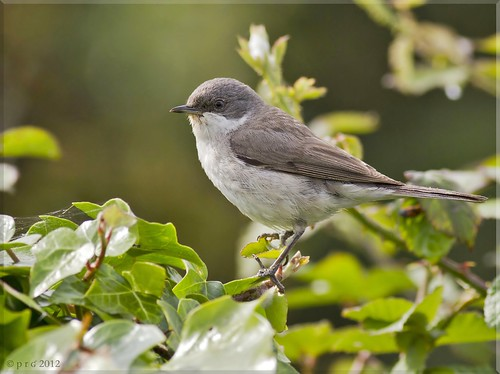 Lesser whitethroat | by www.paul-green.org