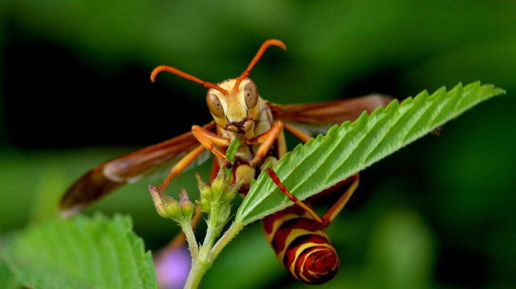 red paper wasp Red, itchy, and scaly skin  hornets form paper-like nests that are attached to trees,  please describe your experience with bee and wasp sting post view 59.