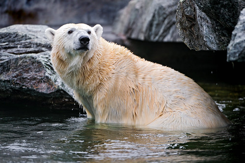 Polar bear posing in the water | by Tambako the Jaguar