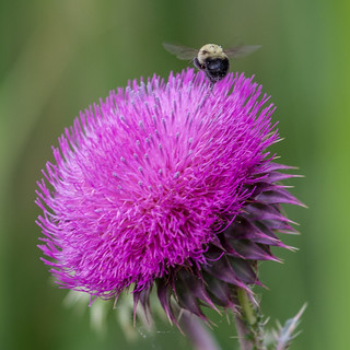 Thistle and Bee 2 | by Mike Matney Photography