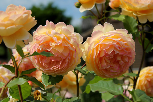 rose 39 golden celebration 39 david austin 1992 shrub. Black Bedroom Furniture Sets. Home Design Ideas