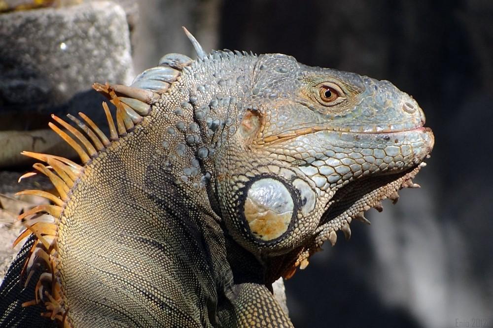 Iguanidae Familia Iguanidae