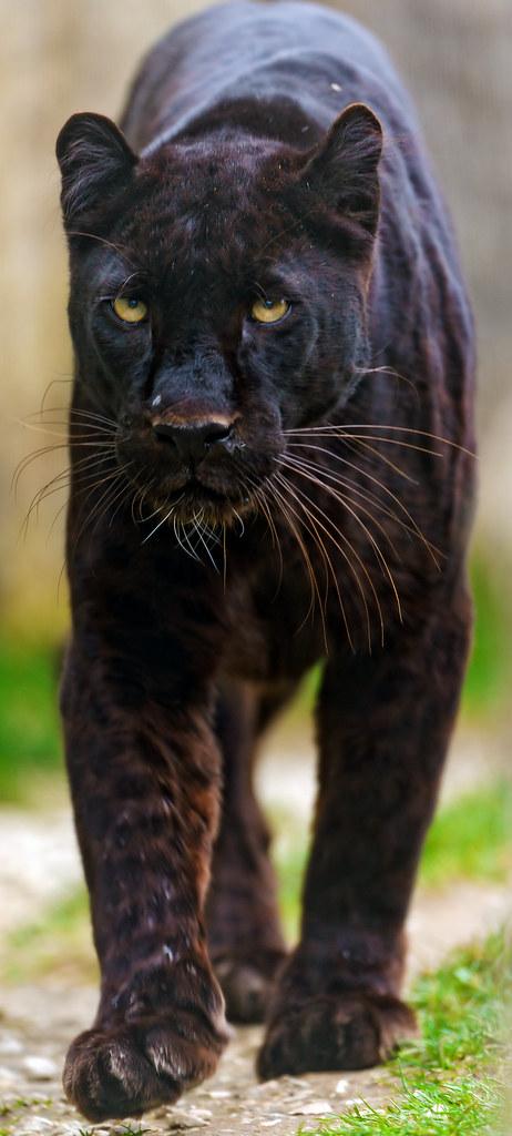 Big Black Animal Belongs To Cat Family