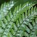 Dryopteris spinulosa