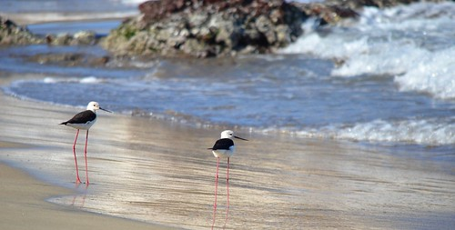 A pair of black winged stilt | by B1GBAD