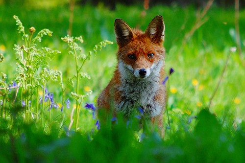 Vixen in bluebells | by Gavin MacRae