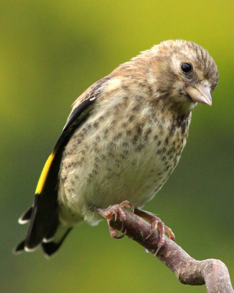 Baby Goldfinch | thetwobirders.blogspot.co.uk/ | Dan van ...