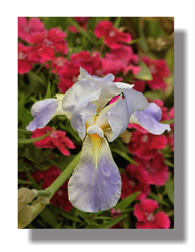 Soloist Iris And Her Dianthus Backup Band | by Vidterry