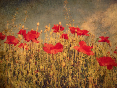 Poppies | by davydubbit